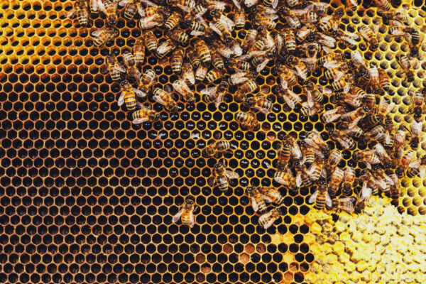Close-up of a beehive full of honeybees developing their work